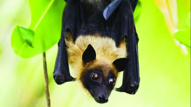 Fruit Bats - NIPAH Virus - Mythgyaan