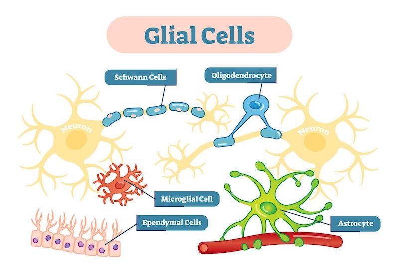Some parts of Einstein's brain have higher a proportion of glial cells than the average male brain.