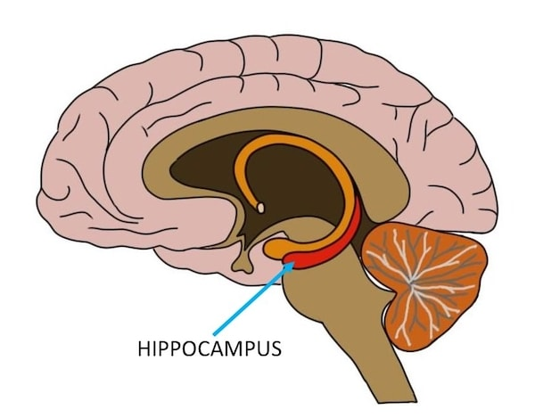 Neurons on the left side of the hippocampus of Einstein's brain are significantly larger than that of the right side
